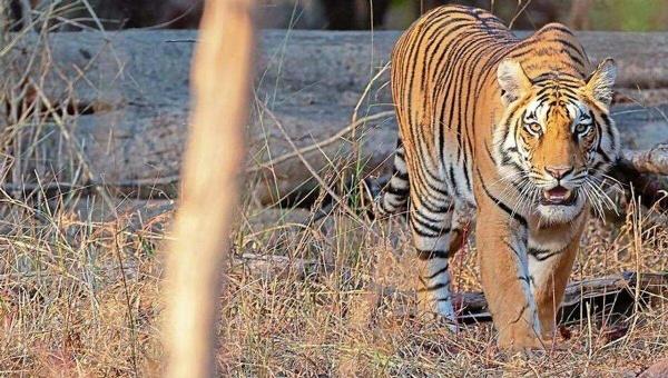 Tiger_1H x W: