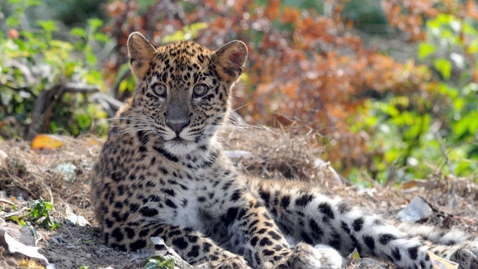 Leopard_1H x