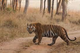 TigerFt_1H x